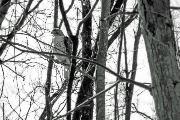 Hawk perched in the trees