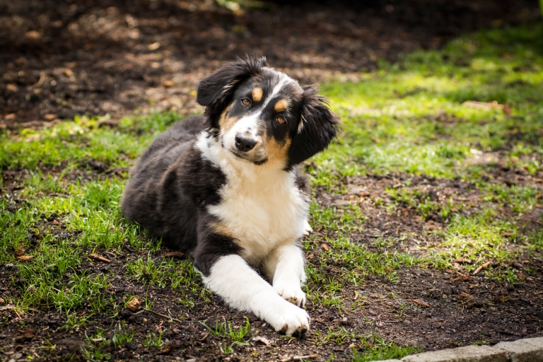 Mini Australian Shepherd laying down